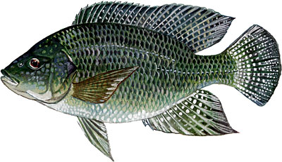 The blue tilapia oreochromis aureus aquaponics and earth for Is tilapia a man made fish
