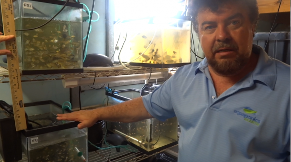 Tilapia Breeding in 55 and 29 Gallon Tanks - Training from Aquaponics and Earth