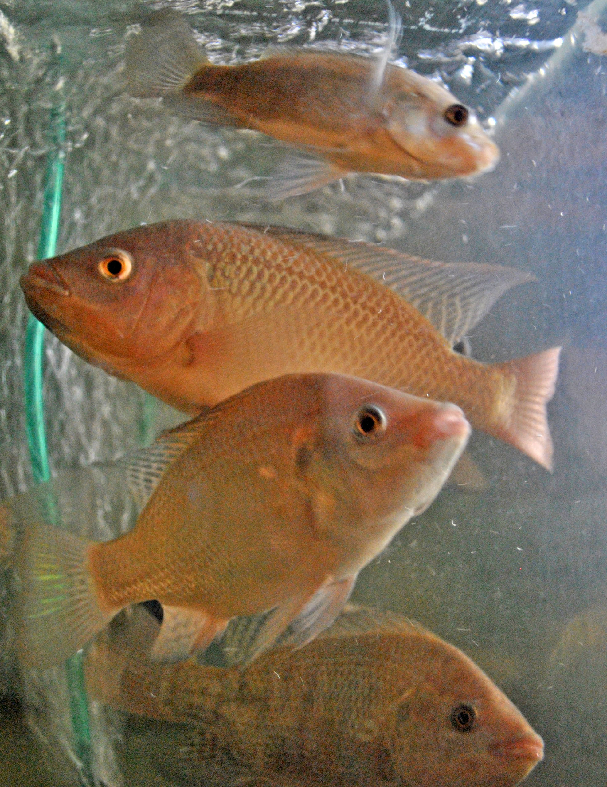 Tilapia fish aquaponics and earth for What is tilapia fish