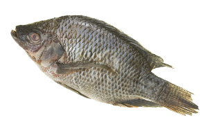 Tilapia Farming Made easy, training from Aquaponics and Earth
