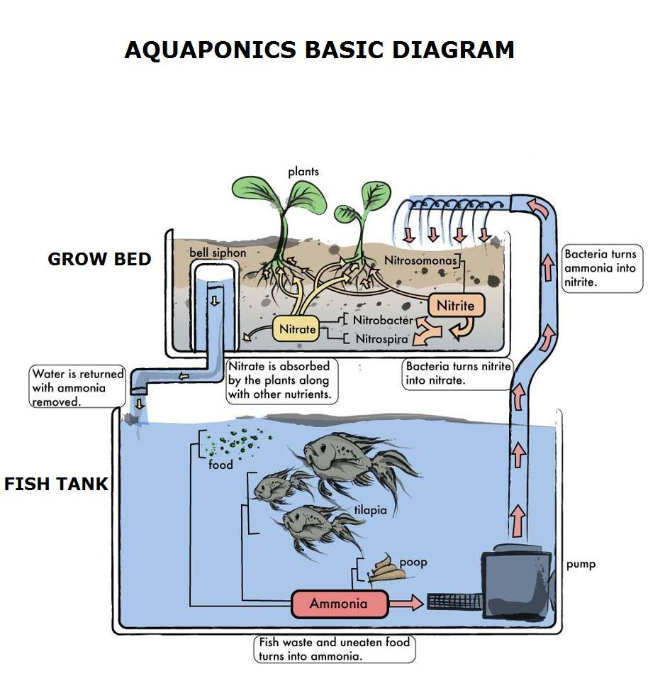 Aquaponics Drawing on Nitrogen Cycle
