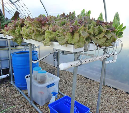 Aquaponics food safety